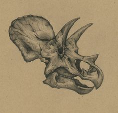 Paleo-illustration… study of a Triceratops skull.
