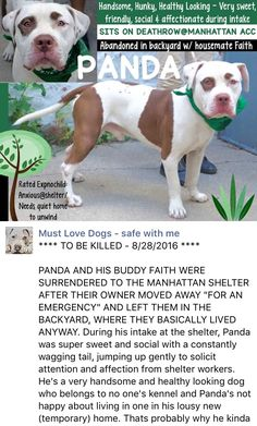 MURDERED 8/28/2016 --- Manhattan center PANDA – A1085576 MALE, WHITE / CHOCOLATE, AM PIT BULL TER / AMERICAN STAFF, 1 yr, 6 mos STRAY – STRAY WAIT, HOLD FOR ID Reason ABANDON Intake condition EXAM REQ Intake Date 08/16/2016 http://nycdogs.urgentpodr.org/panda-a1085576/