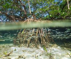 Rooted beneath the water like seaweed yet stretching out into the sky like a terrestrial plant, mangroves are like the mermaids of forest ecosystems.