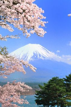 Cherry Blossoms with Mount Fuji in the background.