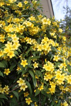 As the South Carolina state flower, Carolina Jessamine is one plant we love! www.LauralLandscaping.com #laurallandscaping landscaping, landscape design, lawn care, irrigation, Charleston, Summerville, Moncks Corner, Goose Greek, Holly Hill, Santee, South Carolina, SC