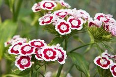 How to Grow and Care for the Dianthus Flower in Containers.
