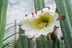 Adorable 40+ Astonishing San Pedro Cactus Inspirations To Complete Your Garden https://decoor.net/40-astonishing-san-pedro-cactus-inspirations-to-complete-your-garden-2543/