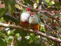 Fruit Doves
