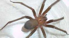 Brown recluse spider    Brown recluse spiders bite more than 7,000 people in Brazil every year, causing serious skin lesions and even death.  Luckily, a life-saving anti-venom is available, but it comes with its own risks - mostly to the animals involved in the production process.  For Health Check, Ben Tavener reports from Brazil on a new, synthetic venom that could lead to a more humane solution.