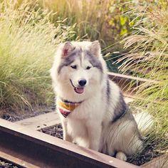 FuzzywuzzywuzzabearitsMochaBearwithfuzzyhair. Cute Dogs, Dog Lovers, Husky, Husky Puppy, Cute Husky, Best Dogs On Instagram, Fluffy Dogs, Best Dog Breeds, Cutest Dogs, Huskies, Siberian Husky, Siberian Huskies, Cute Huskies, Best Pets, Dog Photography, Instagram Pets, Instagram Dogs, Puppies, Cute Puppies, Fluffy Puppies, Funny Dogs, Dogs Of Instagram, Dogs On Instagram, Follow Dogs On Instagram, Cutest Animals On Instagram, Cute Animals #Regram via @mocha_in_the_morning