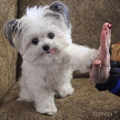 Have you met Norbert? Give him a high-five! He's a registered therapy dog, philanthropist & picture book author. via Norbert Cute Funny Animals, Cute Baby Animals, Animals And Pets, Cute Dogs And Puppies, Doggies, Teddy Bear Puppies, Tiny Puppies, Little Puppies, Therapy Dogs