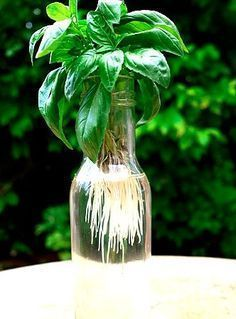 Gardening Herbs How to make more Basil Plants for free - one of the easiest herbs to propagate from cuttings. Can root in just a few days. - How To Make More Basil Plants and have plenty of basil all through the season for pennies. Hydroponic Growing, Hydroponic Gardening, Hydroponics, Organic Gardening, Container Gardening, Gardening Tips, Indoor Gardening, Aquaponics Plants, Greenhouse Gardening