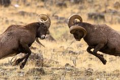Big horn sheep, Yellowstone