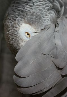 heyfiki:  African Grey Parrot, peeking out from under its wing