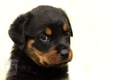Rottweiler Training, Rottweiler Puppies, Puppy Crate, Cute Dogs Images, Puppy Play, Border Terrier, Large Dog Breeds, Training Your Puppy, Bear Cubs