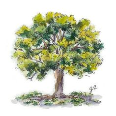 Water color oak tree