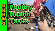 Keeping Backyard Chickens Safe And Healthy By Trimming Beaks And Removing spurs.  #poultry #chicken #backyardchickens #backyardpoultry #raisingchickens #chickenhealth #allotment #veggiegarden #backyard