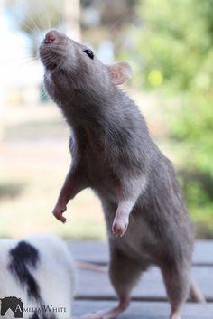 Rat it tat!