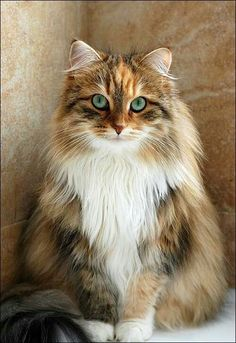 Cute Kittens Maine Coon Cat Wallpaper Added on , Tagged : Cute Kittens, Maine Coon Cat at Cute Kittens Pictures Ragdoll Kittens, Cute Cats And Kittens, Cool Cats, Kittens Cutest, Siamese Cat, Pretty Cats, Beautiful Cats, Animals Beautiful, Cute Animals