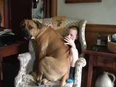 83 Best Bullmastiff And Cane Corso Images Big Dogs Cane Corso