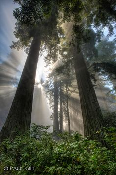 Sunrise in The Redwoods - California