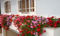 Gerânio pendente Window Box Flowers, Window Boxes, Flower Boxes, Growing Geraniums, Growing Plants, Garden Windows, Interior Garden, Planting Vegetables, Front Yard Landscaping