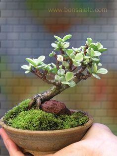 Bonsai de Jade variegada, de aproximadamente 6 anos de idade.  Fotografia: Fotografia: https://www.etsy.com