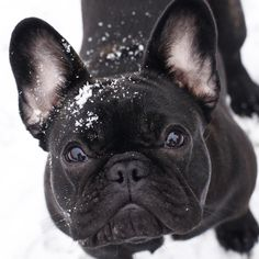 cute black French bulldog