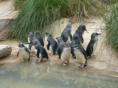 Fairy Penguins on Phillip Island, 140km south east of Melbourne. A tourist's delight!