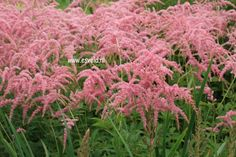 Picture and description of Astilbe 'Straussenfeder'