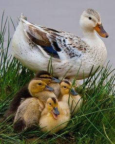 i am in love with ducks... future pet