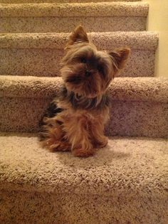 I wanna stay up | A community of Yorkshire Terrier lovers!