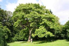 El árbol de la vida Paulownia Tomentosa - http://www.jardineriaon.com/el-arbol-de-la-vida-paulownia-tomentosa.html