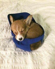 @OhMyCorgi : if she fits she sleeps http://ift.tt/2nasqft #corgi #corgis