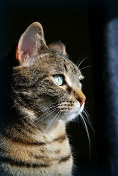 gorgeous tabby cat.