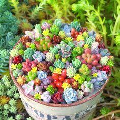 2016.08.02 今日雨だって。 まだ火曜日だって。 そんなときは #現実逃避 5月のセダム丼✦ฺ やっぱこの色合いが恋しい♡ あーーーちまちま寄せたい!!! . . #succulent #succulents #succulove #leafandclay #SuckerForSucculents #sedum #garden #gardening #多肉 #多肉植物 #セダム #雪国タニラー #信州29会 #寄せ植え #まいまい寄せ #ちまちま寄せ #セダム丼 #セダム寄せ #よせよせセダム #ちまちま倶楽部 #庭 #ガーデニング #地植えセダム #まいさんちのちまちま寄せ