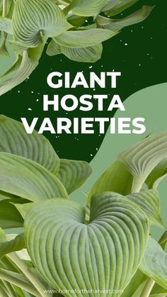 Hostas come in all different shapes and sizes, which means that if you really want to, you can grow hostas until they're bigger than you! Keep reading and we'll talk about the different kinds of giant hostas and how to grow them into beautiful, blooming perennials. Privacy Plants, Privacy Landscaping, Lavender Flowers, White Flowers, Gardening For Beginners, Gardening Tips, Giant Hosta, Different Types Of Fences