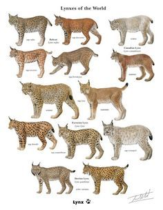 Answer this quick survey and get this exclusive framable print of the Lynxes of . - Answer this quick survey and get this exclusive framable print of the Lynxes of … Answer this q - Small Wild Cats, Big Cats, Cats And Kittens, Animals And Pets, Funny Animals, Cute Animals, Wild Animals, Baby Animals, Animal Facts
