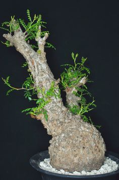 Operculicarya pachypus female | by GREGORIUZ