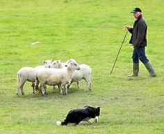 Be sure to find a sheepdog trial and watch the amazing border collies perform!