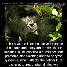 To lick a wound is an instinctive response in humans and many other animals. It is because saliva contains a substance that promotes blood clotting and the enzyme lysozyme, which attacks the cell walls of bacteria, to guard against infection.