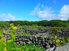 Vinhas dos Biscoitos, Praia da Vitória, ilha Terceira, Açores. preparação para as vindimas