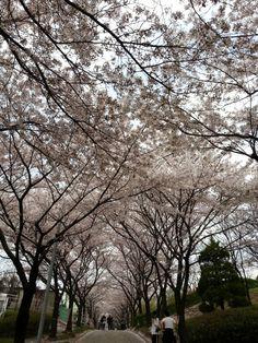 왕벚꽃토네이도광풍