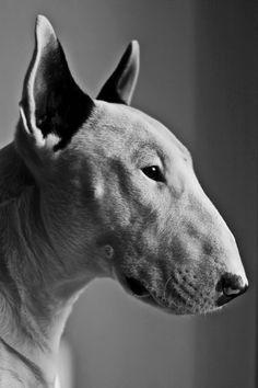 Bull terrier ... adorable con su trompita, sus orejotas y sus pequeños ojitos ...