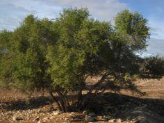 El espinoso árbol de argán