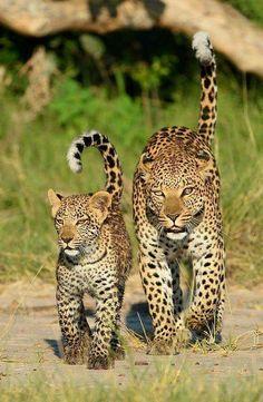 leopards...
