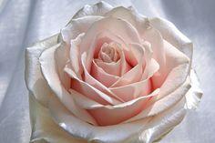 http://www.regioboeket.nl/vip-roses/product/satijn/satin-sweet-avalanche-rozen