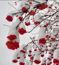 winter scenery: snow hanging in red berries Winter Szenen, I Love Winter, Winter Magic, Winter White, Winter Season, Winter Christmas, Christmas Berries, Thanksgiving Holiday, Winter Months