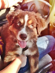 Cool 100+ Amazing Australian Shepherds https://meowlogy.com/2017/03/28/100-amazing-australian-shepherds/ Should you be attempting to avert a dog with lots of of odor, keep away from breeds with excessive folds and floppy ears. Every dog needs to be traine...