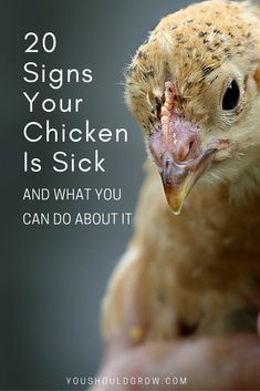 Backyard chickens: Learn the common signs of illness in chickens plus easy to follow tips from a vet for taking care of sick a sick hen or roo. via @youshouldgrow