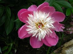 Peony 'Bowl of Beauty' - from Jane