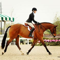 I love a bay horse. This is the exact same color of one of my Saddlebreds.
