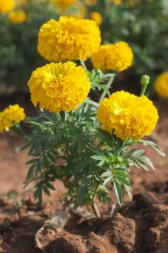Simple Things All Organic Gardeners Should Know. Your goal is to plant the best organic garden possible. These tips will help you start an organic garden. Exotic Flowers, Love Flowers, Yellow Flowers, Flowers Nature, Marigolds In Garden, Planting Flowers, Flowering Plants, Beautiful Roses, Beautiful Gardens