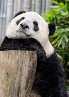 'Epic Panda with hammer' by Rhoar Panda Bebe, Cute Panda, Panda Panda, Cute Baby Animals, Animals And Pets, Wild Animals, Beautiful Creatures, Animals Beautiful, Baby Panda Bears